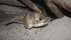 a close up of a kangaroo rat, genus dipodomys