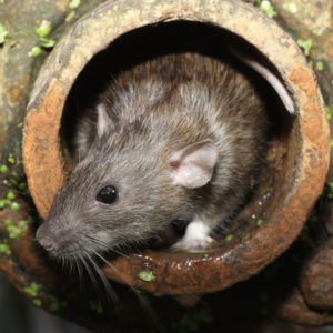 brown rat, rattus norvegicus, captive, in drain pipe, august 2009