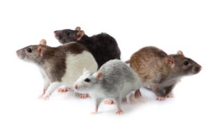 rodents-pest-control